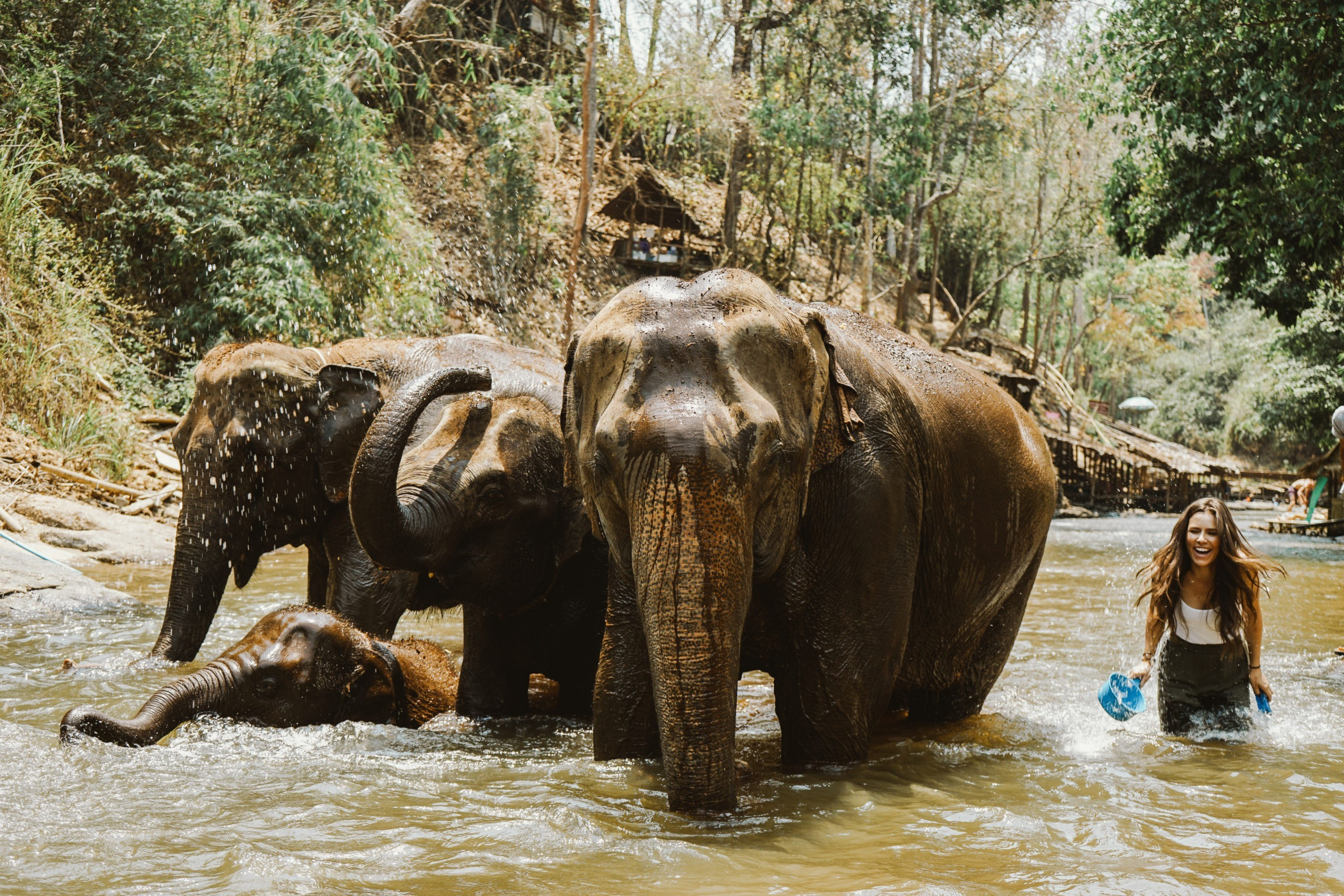 A group of elephants playing in a river