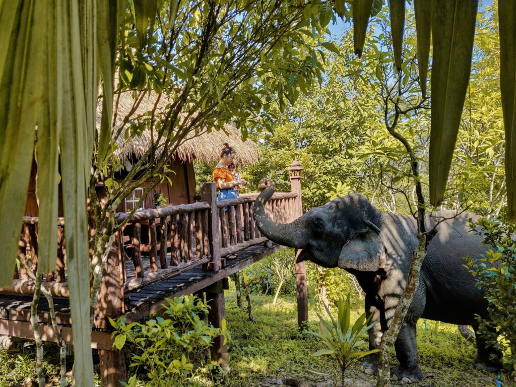 hotel guest in a bamboo bungalow feeds an elephant