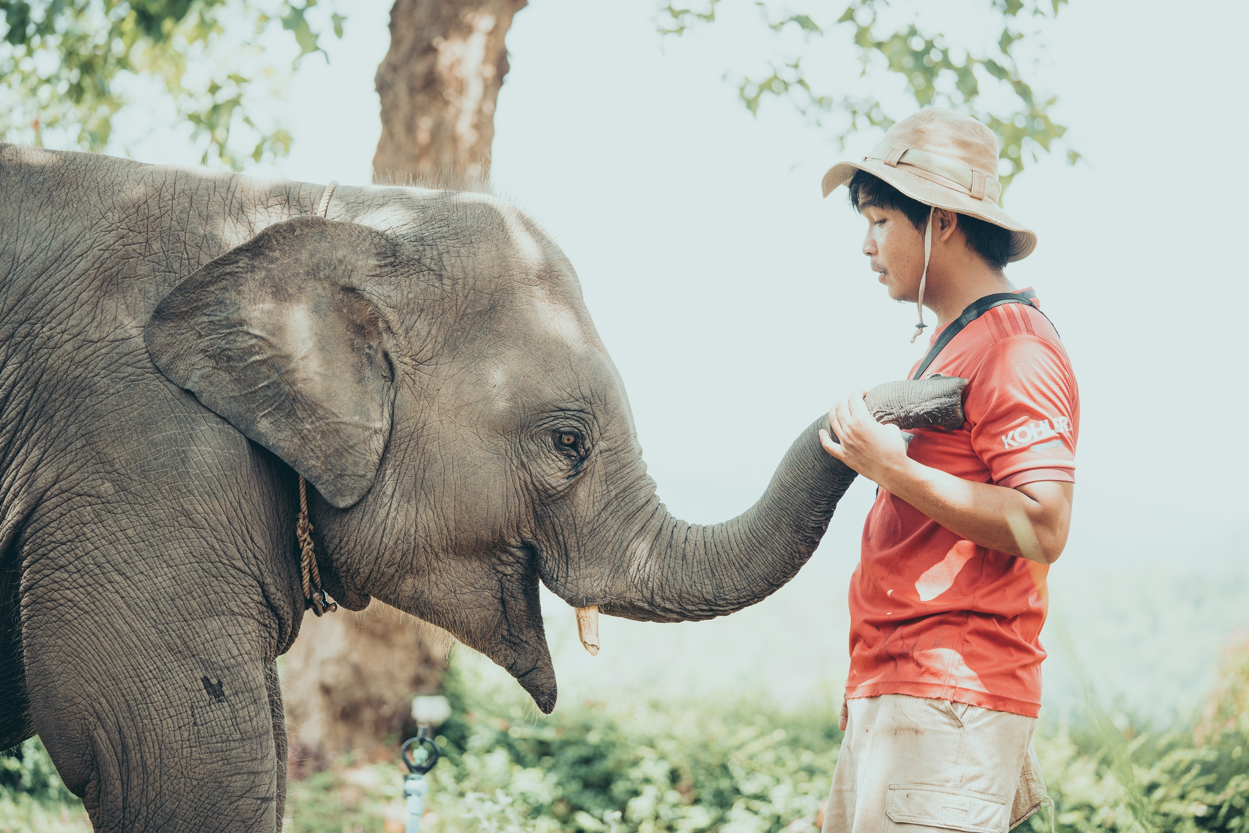a mahout plays with a baby elephant in chiang mai