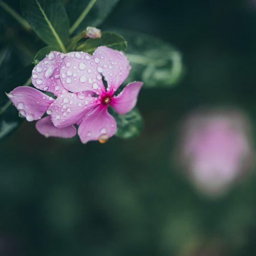 thai wild flower