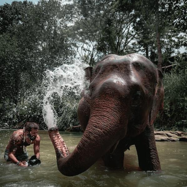 an elephants splashes a man