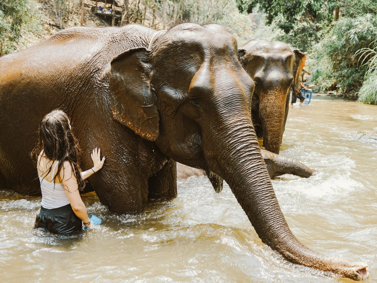 A woman caring for elephants in a river
